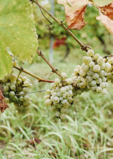 Cepage Vin d'Ayze